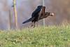 Raven has taken off, egg in beak
