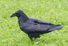 Raven on grass in light rain.