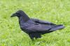 Raven on grass in light rain.