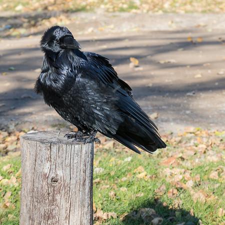 Raven in Moosonee.