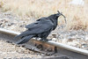 Raven checking out a piece of wood while standing on track.