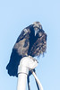 Juvenile raven on a service mast.