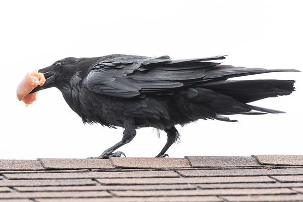 Raven on the roof with a piece of chicken.