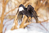 Raven in flight, lard in beak. Just took off, snow falling. Processed 2021 January 28