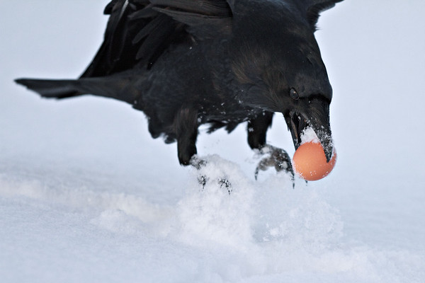 Raven jumping up with an egg in its beak. Wings out of frame.