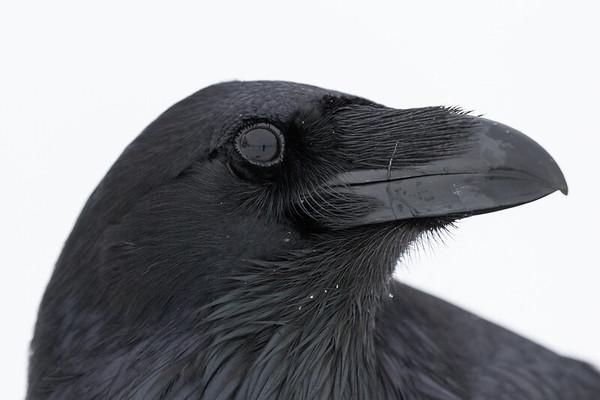 Headshot of raven, head turned.