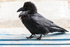 Raven on front porch, chuffed up.