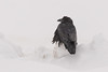 Raven across the road on snowbank on a snowy morning.