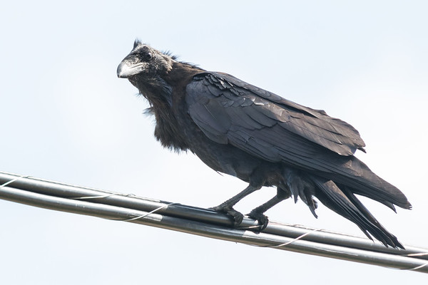 Raven on cables.