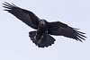 Raven in flight, both wings extended, legs down