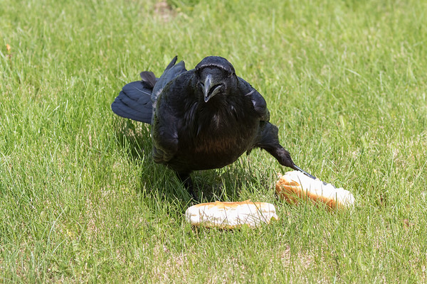 Raven with two hot dog buns.