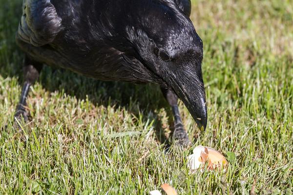 Raven enjoying an egg.