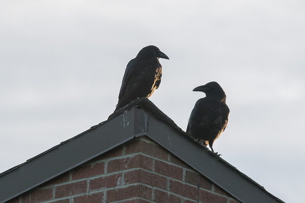 Two ravens on the roof.