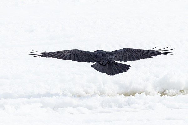 Raven flying away from camera out on to the ice of the Moose River.
