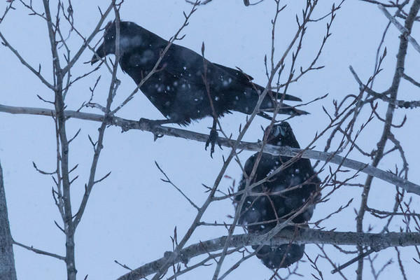 Two ravens in the trees on a snowy morning in Moosonee.
