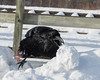 Raven moving a chunk of snow to get at food in a depression in the snow.