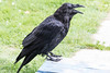 Raven on front porch, tip of tail out of frame.