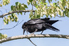 Raven clucking in a tree.