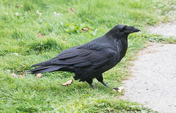 Raven by the front door.