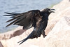 Raven, on granite, wings partially out, beak open