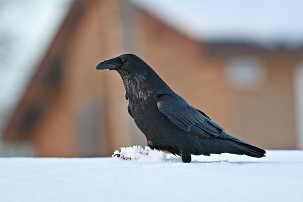 Raven walking in snow.