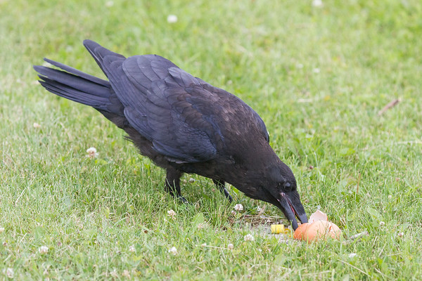 Juvenile raven eating a smashed egg.
