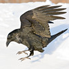 Raven about to land in snow, square crop