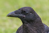 Head shot of juvenile raven.