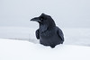 Raven along the Moose River in Moosonee.