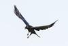 Raven in flight, feet down, wings up, beak open.