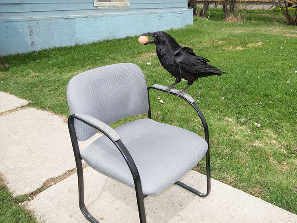 Raven picking up egg from chair.