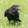 Juvenile raven with beak open. Head turned.