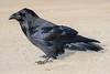 Raven walking on Henry Crescent. Flash used.