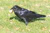 Raven on the grass with an egg in its beak.
