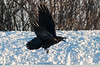 Raven flying low over street with white egg in beak, wings up. 2005 January 25.