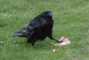 Raven eating meat on the lawn.