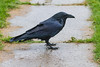 Wet raven on my front walk.