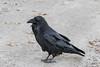 Raven on road leading down to Two Bay docks in Moosonee.