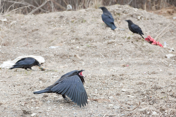Juvenile raven (note pink mouth) calling out with other juveniles and an adult (center top) in image.