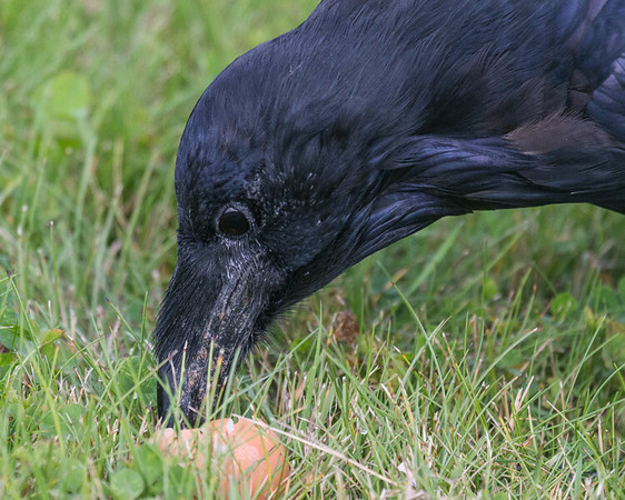 Raven with an egg.