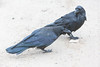 Two juvenile ravens.
