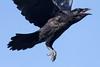 Juvenile raven taking off.
