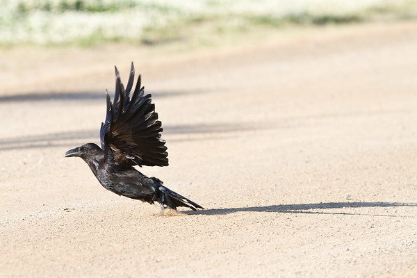 Raven taking off from road.