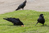 Adult raven at right walks away from egg it was eating as juvenile takes over. Another juvenile in background with beak open.