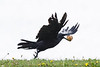 Raven taking off with a muffin.
