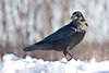Raven standing on snowbank, head turned, looking to side