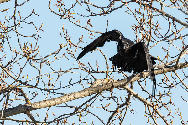 Raven flying out of a tree, wings bent.