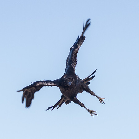 Raven in flight, descending, wings bent, feet extended.