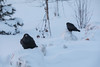 Two ravens along the riverbank before sunrise.