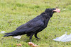 On a rainy day, a raven departs with a piece of bologna.